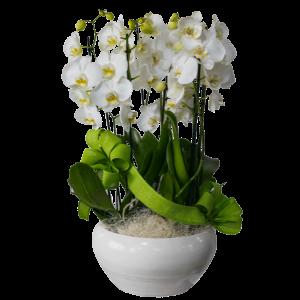 Orchidea phalaeonopsis