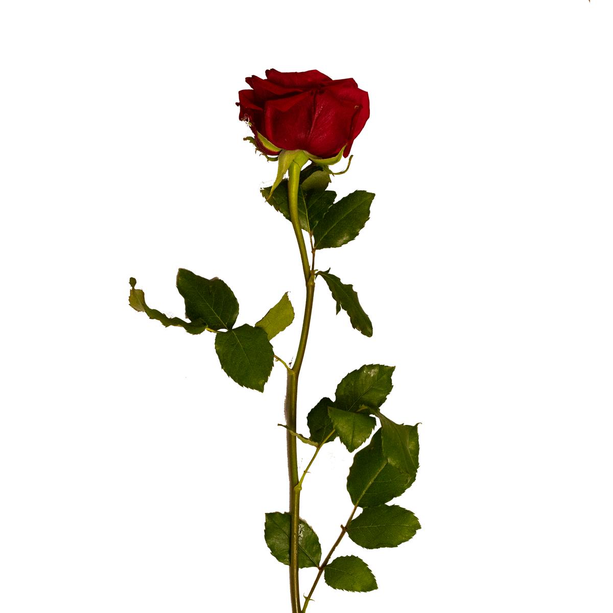 Fiori Bianchi Gambo Lungo.Rose Rosse A Gambo Lungo Fioriweb It Consegna Fiori In Italia
