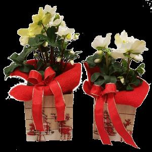 Helleboro - Rosa di Natale